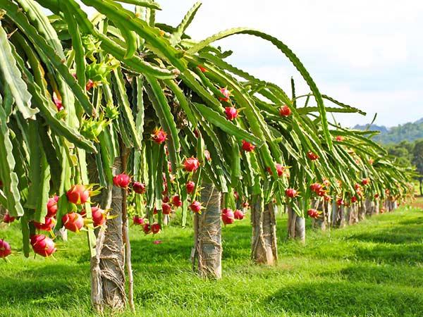 15 Health Benefits of Dragon Fruit