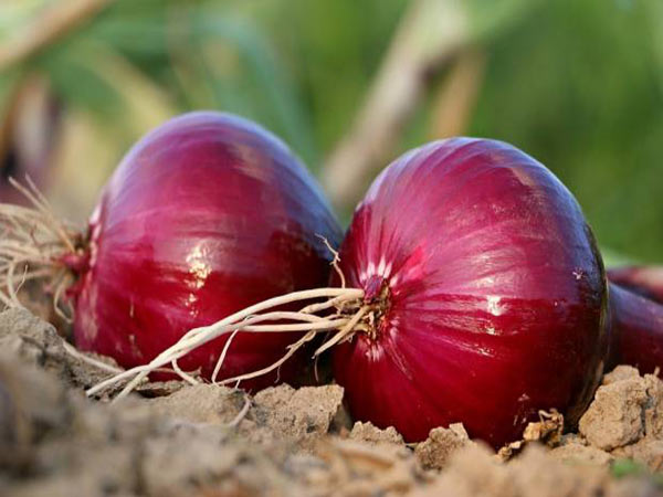 Health Benefits of Eating Raw Onions Everyday