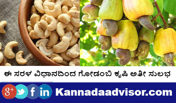 Cashew farming is very easy with these simple method