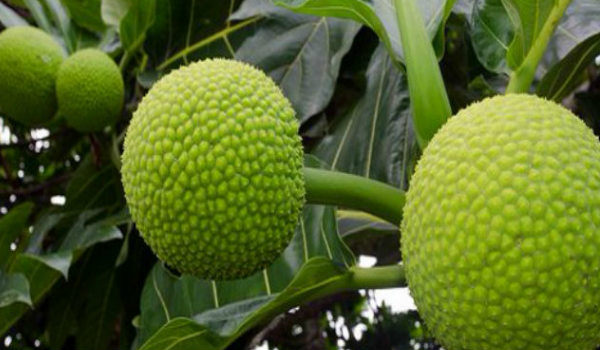 health benefits of Breadfruit Breadfruit has more nutrisions than Jackfruits 1
